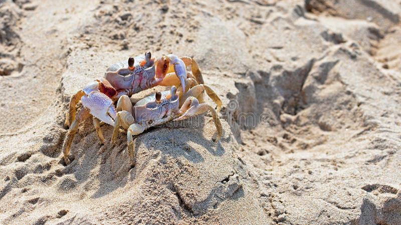 Red rock crab (Grapsus grapsus) stock photography