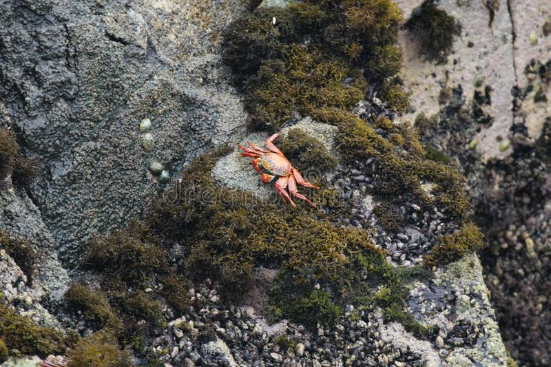 Red rock crab on rock stock image