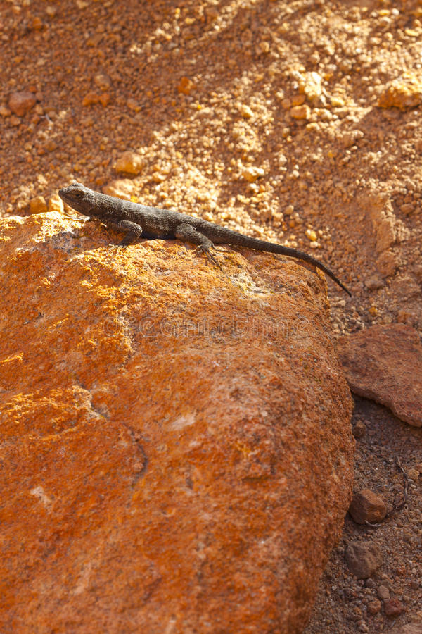Red Rock Lizard Royalty Free Stock Photo