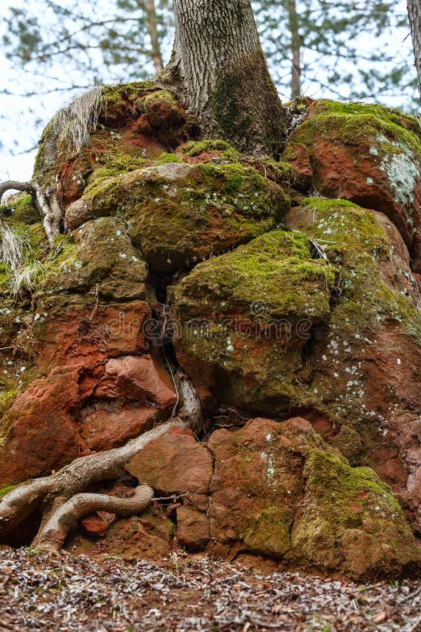 Red rock through which the roots of the tree sprouted.organic texture. Kislovodsk, Russia stock photo
