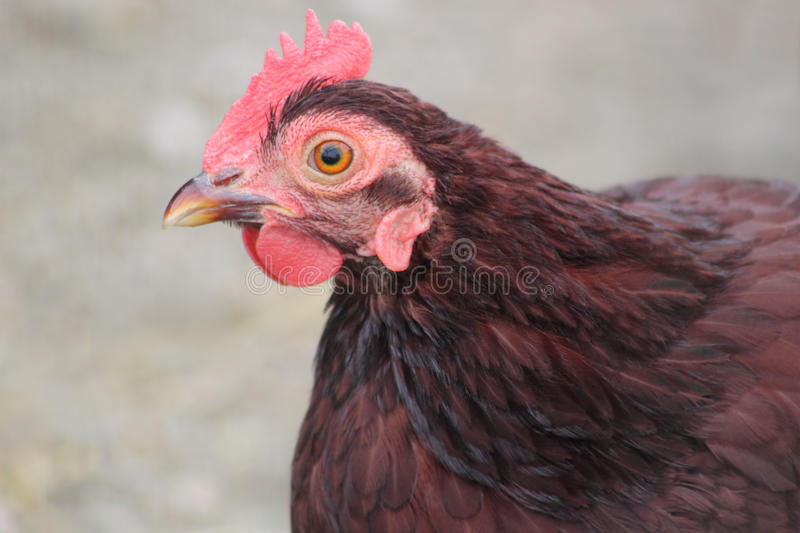 Download Red Rooster stock image. Image of orange, animal, rooster - 16772223