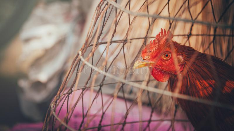 Red Rooster on Brown Wooden Cage stock images