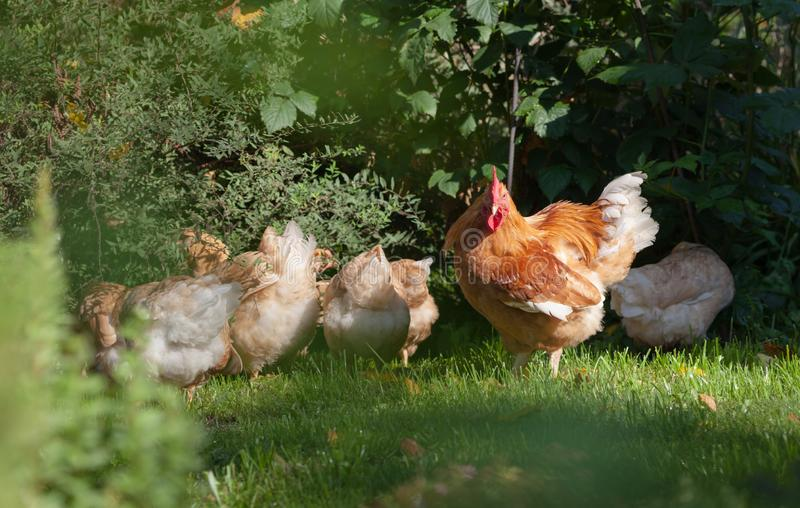 Red rooster and pale yellow hens graze in the garden. Organic farming. stock photos