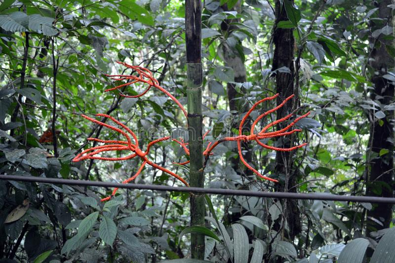 Red roots of lianas entangling young bamboo rope in the cloudy forest of Costa Rica stock image