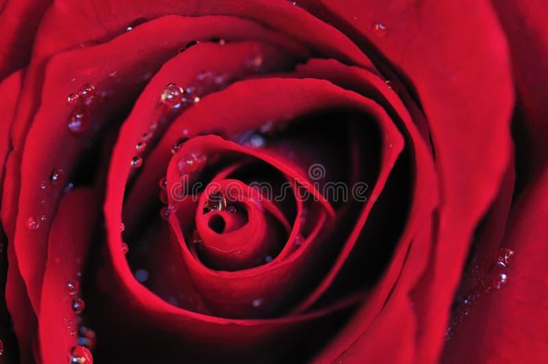 Red rose. Micro fresh romance royalty free stock photos