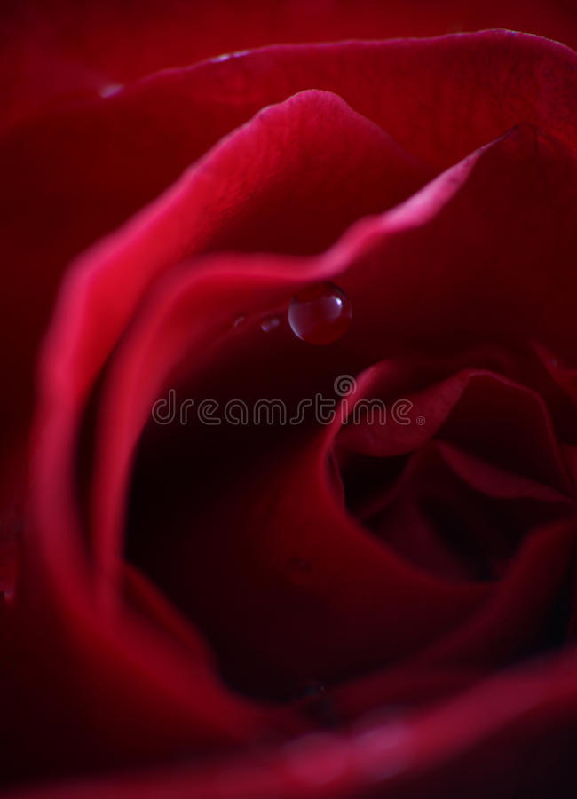 Download Red rose stock photo. Image of desire, loved, flower - 11137960