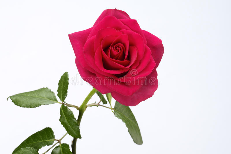 Red Rose. Single long stem red rose stock photos