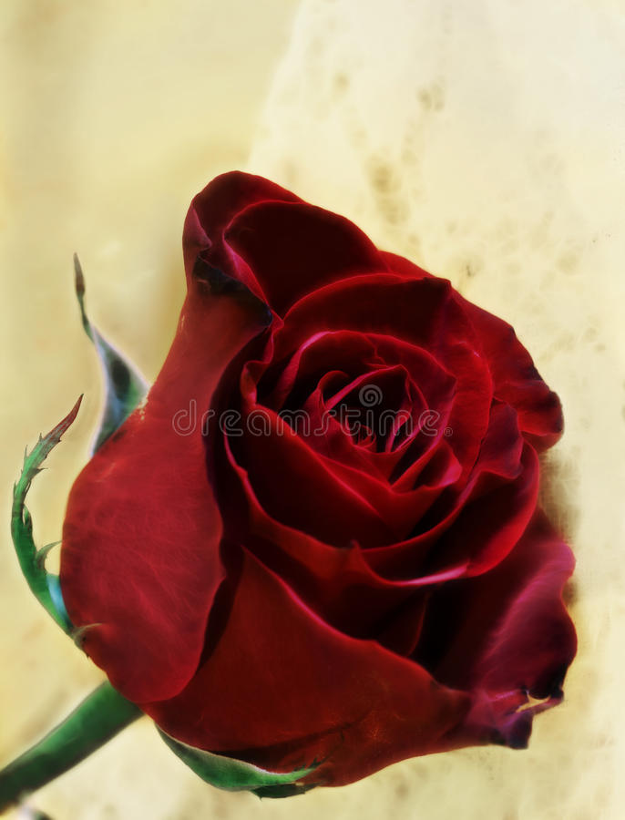 Download Red Rose stock image. Image of soft, flower, details - 13077047