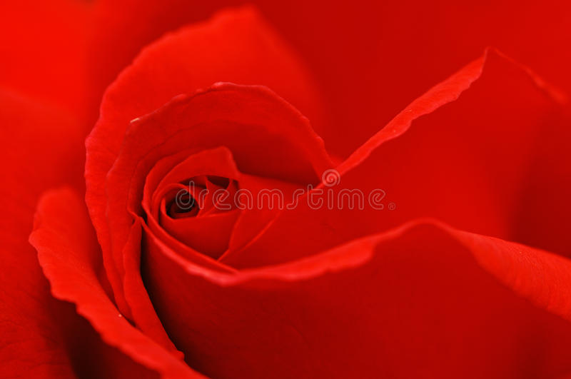 Download Red Rose Royalty Free Stock Photos - Image: 13158988