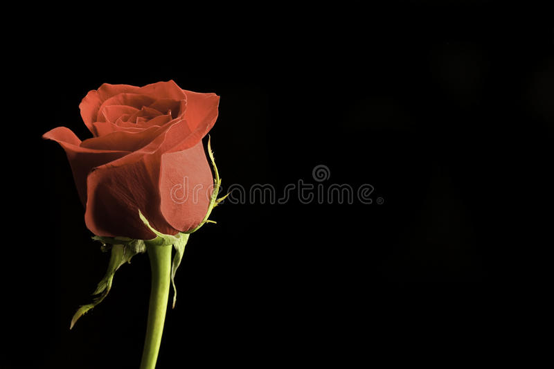 Red Rose. Against a black background royalty free stock photo