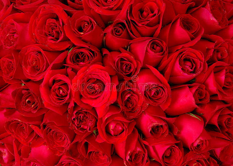 Red rose. Background ,natural texture stock photography