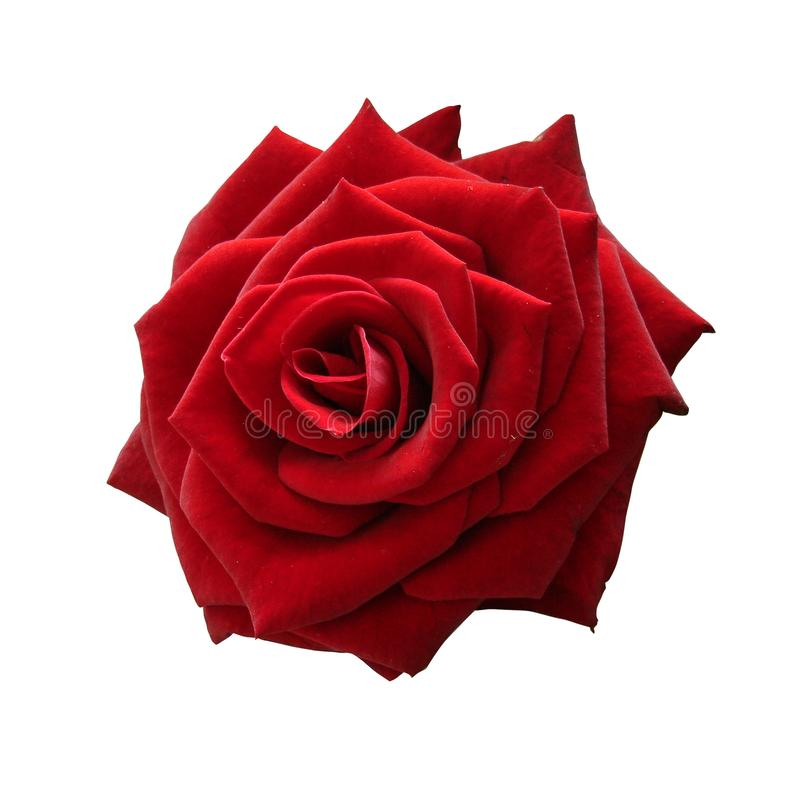 Isolated Red Rose to express LOVE in all kinds of ways.. White Isolated Background. No Shadows. With Clipping Path. The Red Rose, one of the oldest images to stock photography