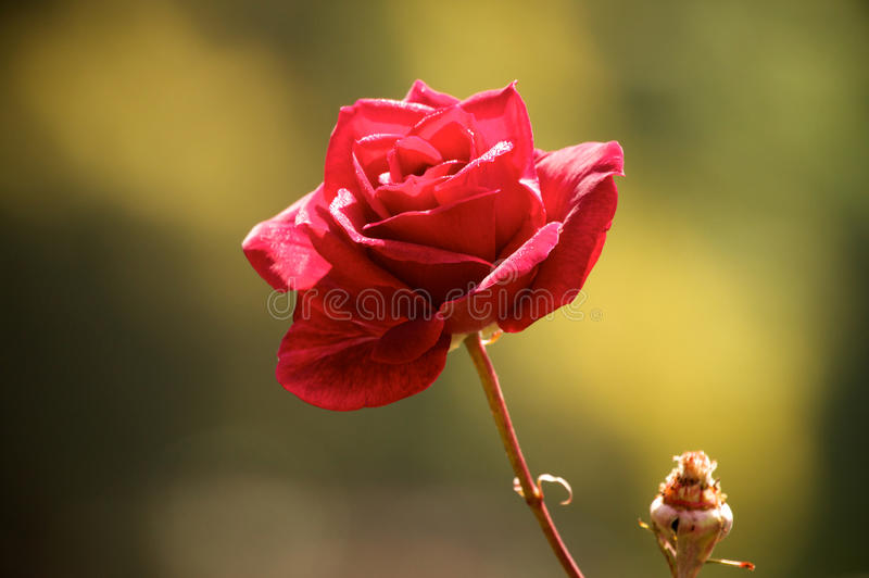Red Rose. A wild Red Rose in the spring stock image