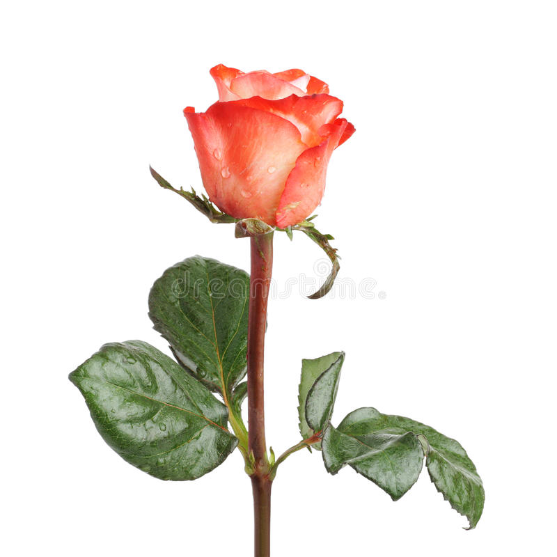 Free Red Rose Royalty Free Stock Photography - 17928447