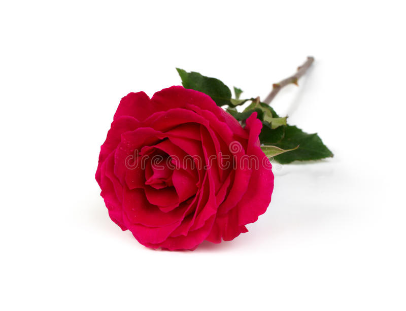 Download Red rose stock photo. Image of close, flower, nature - 18005714