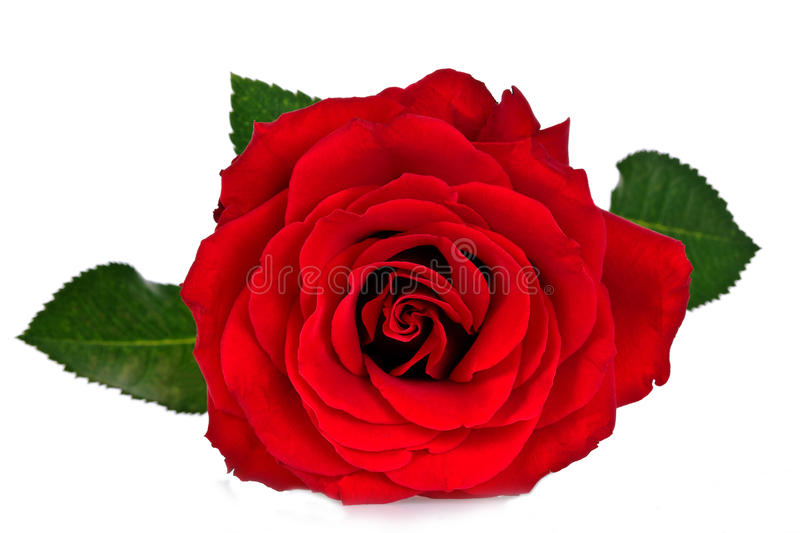 Red rose. Isolated on white background stock image