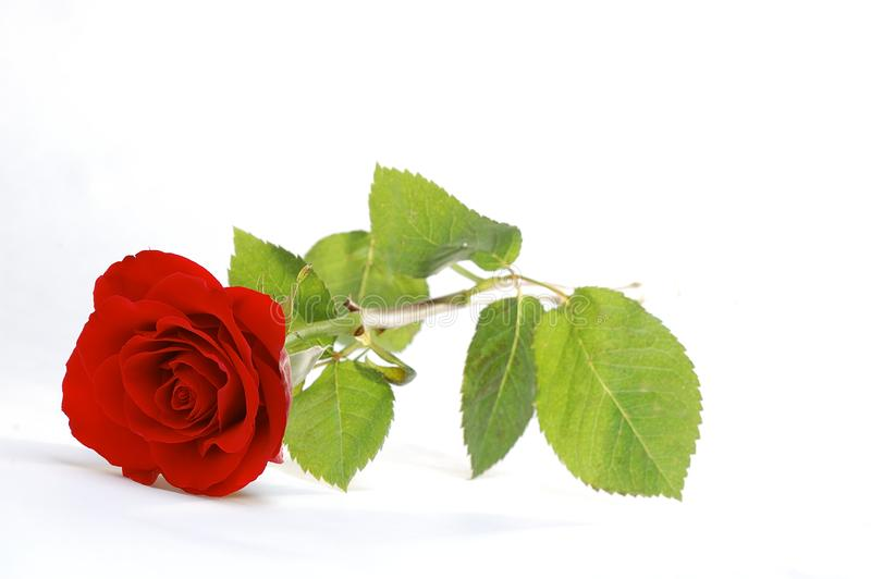 Download Red Rose stock image. Image of colourful, close, colorful - 18727501