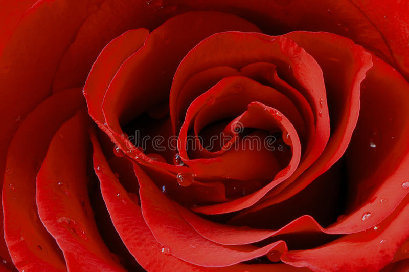 Red rose. The macro shot of a red rose royalty free stock photo