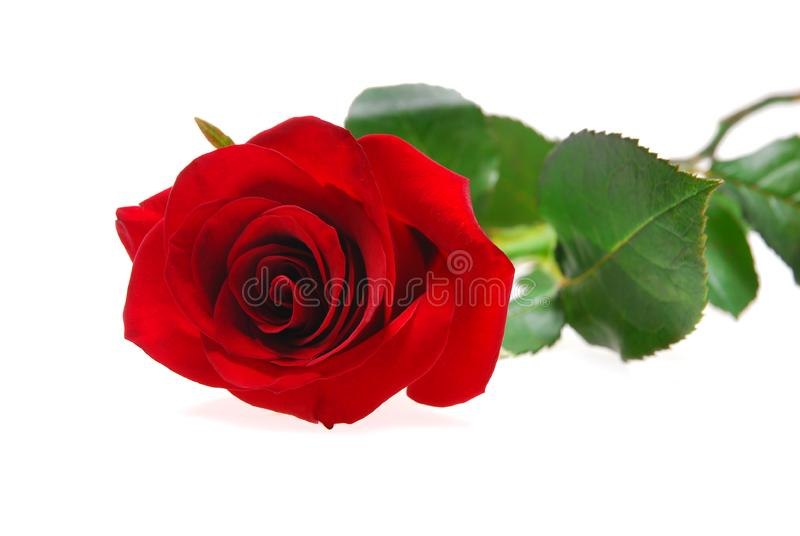Red rose 2 stock photos