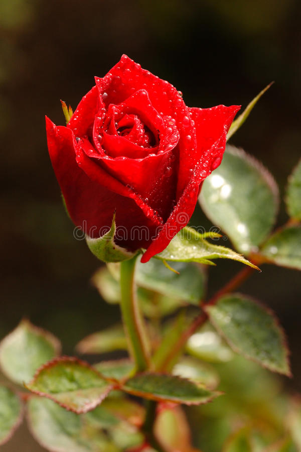 Download Red Rose. stock image. Image of conceptual, full, layers - 22008887