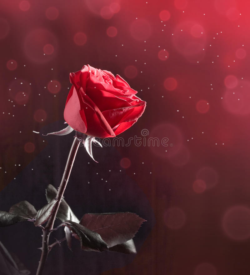 Download Red rose stock image. Image of flower, birthday, valentines - 22012461