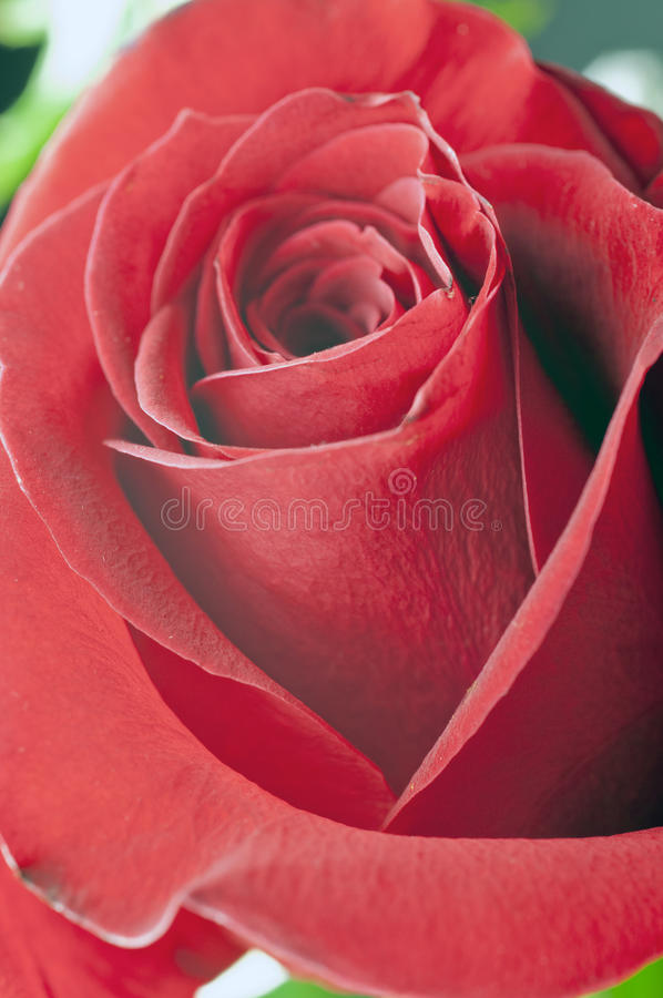 Download Red rose stock photo. Image of passion, florist, present - 23153524