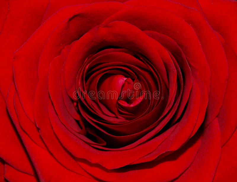 Download REd rose stock photo. Image of valentine, nature, blossom - 23621962