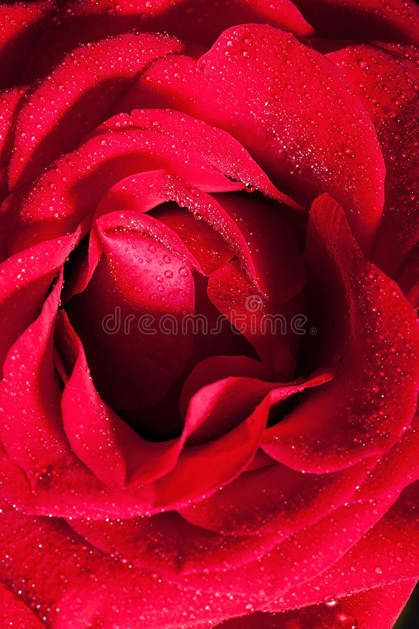 Download Red rose stock image. Image of color, bloom, details - 23874209