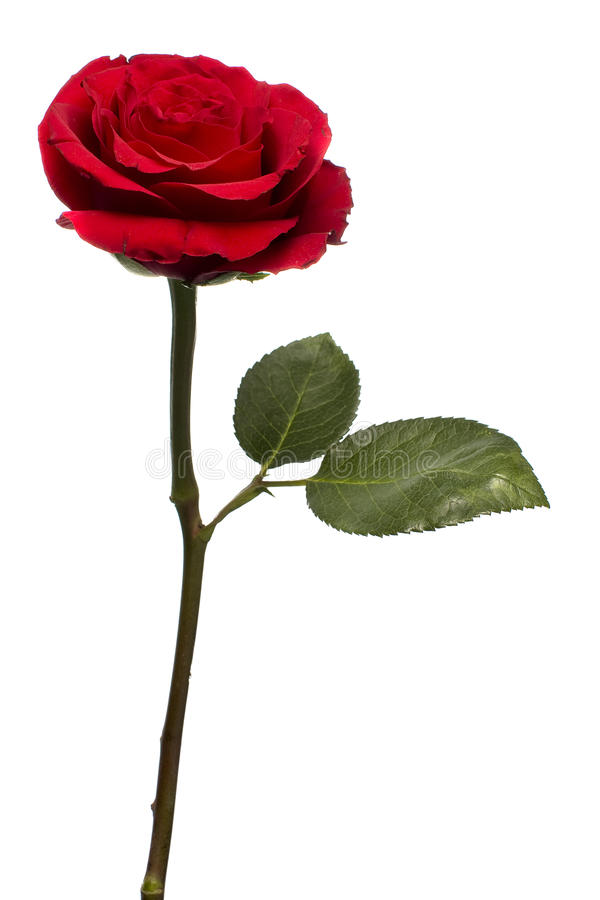 Download Red Rose Standing stock photo. Image of color, seduction - 23980204