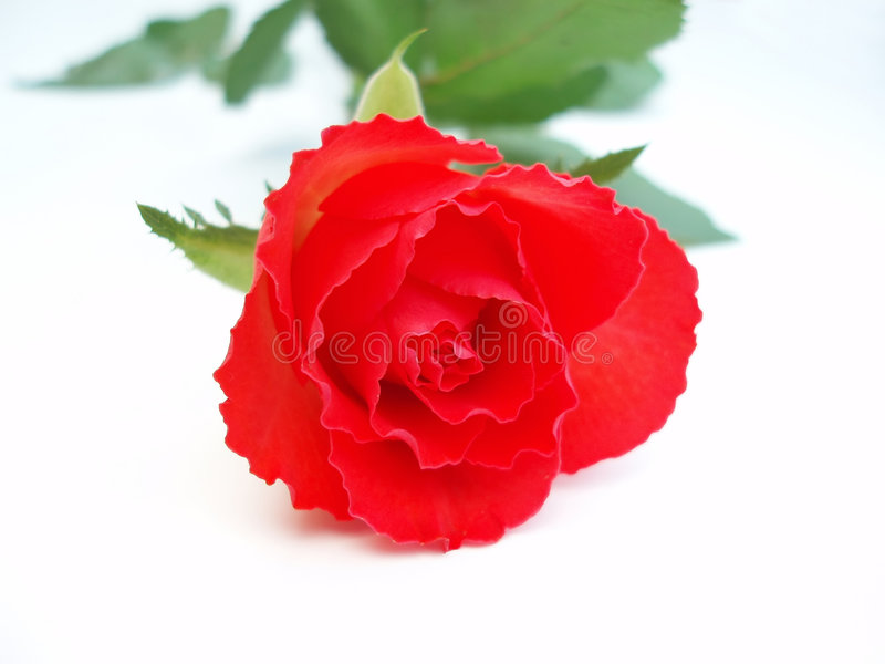 Download Red rose stock photo. Image of rose, botanic, outdoor, colorful - 265746