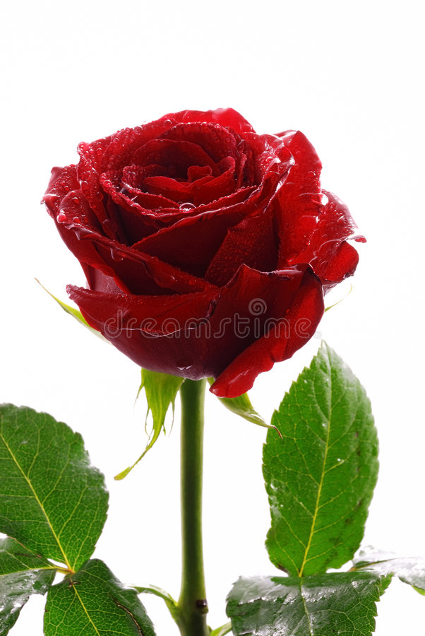 Download Red rose stock photo. Image of beauty, love, anniversary - 2714810