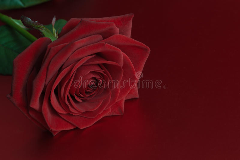 Download Red rose stock photo. Image of close, velvety, passion - 28501470