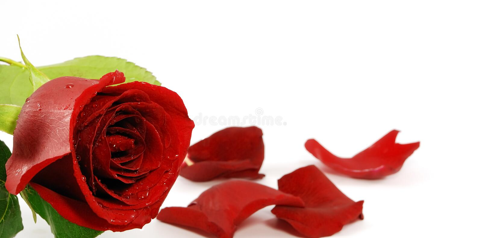 Download Red rose stock photo. Image of gift, passion, mothers - 2880884