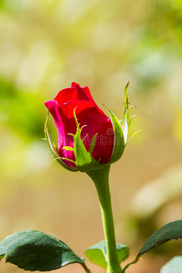 Download Red rose stock image. Image of flora, beauty, beautiful - 28917877