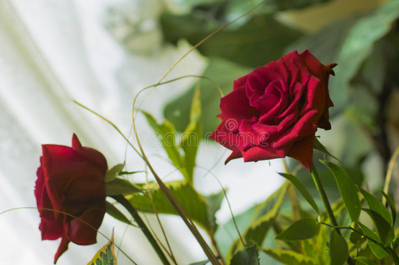 Download Red Rose Stock Photography - Image: 29177422