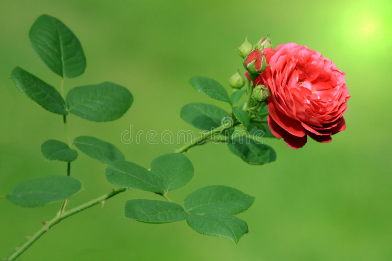 Red Rose. This single red rose reaches to the sun stock photo