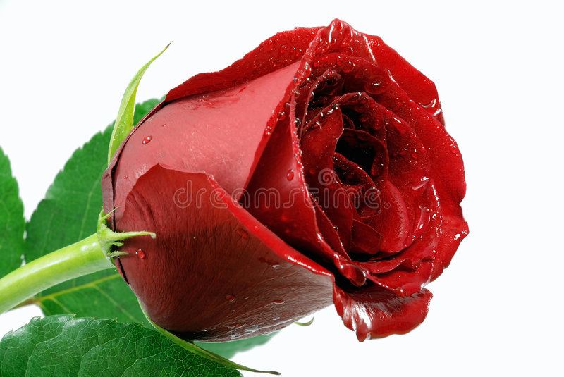 Download Red rose stock photo. Image of married, desire, expression - 3481380