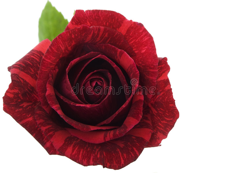 Download Red Rose stock photo. Image of petals, beauty, romantic - 3936066