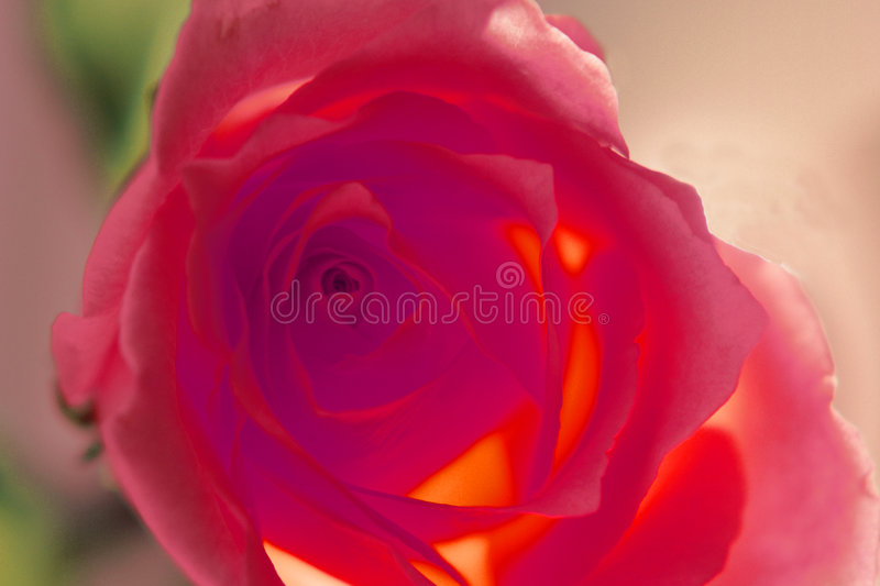 Download Red Rose stock photo. Image of rose, glows, flower, pedals - 43764