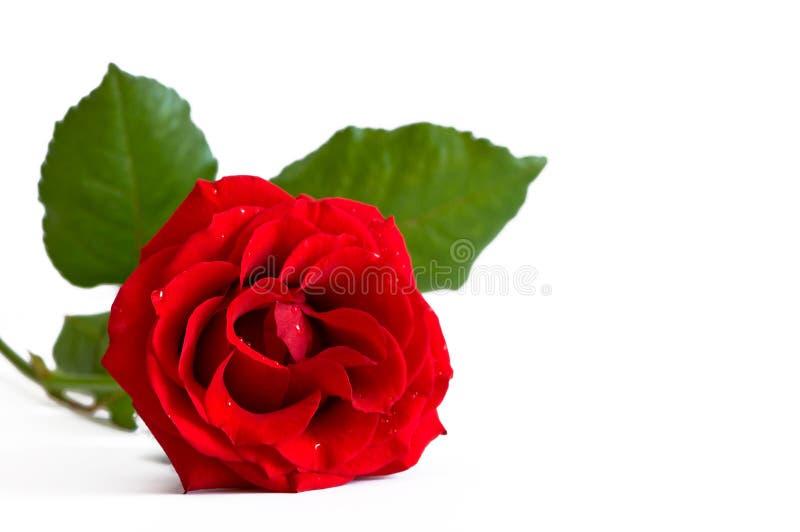 Red Rose Royalty Free Stock Image