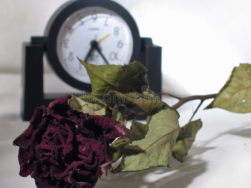 Download Red rose stock image. Image of time, dried, hours, rose - 4491435