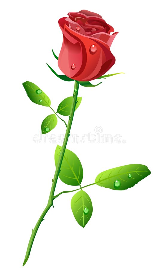 Red rose. With water drops isolated on white