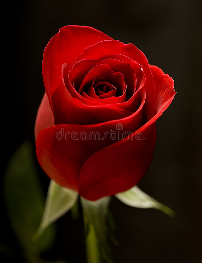 Free Red Rose Royalty Free Stock Photos - 581848