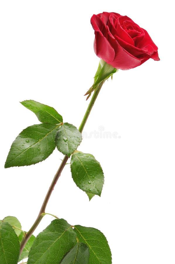 Free Red Rose Royalty Free Stock Image - 63120286