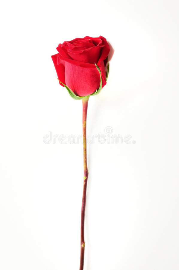 Red rose. Detail of single red rose isolated over white stock images