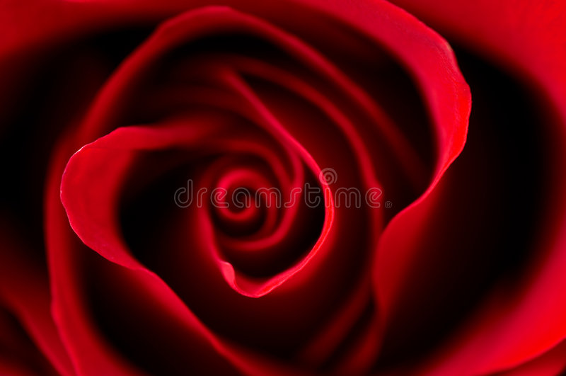 Download Red Rose Royalty Free Stock Images - Image: 7191479
