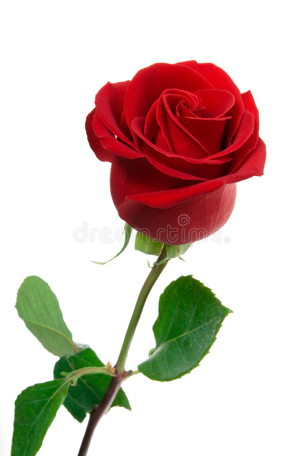 Red Rose, Stock Photography