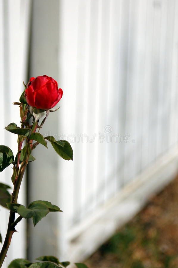 Red Rose against white fence royalty free stock image
