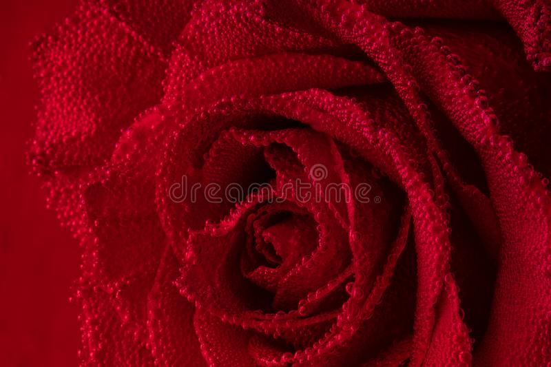 Red rose with air bubbles on the petals. Rose in the aquarium stock photography