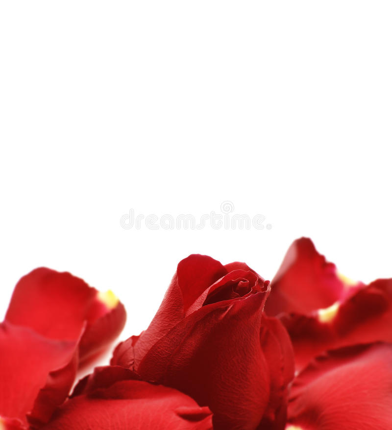 Free Red Rose Background Royalty Free Stock Photos - 19317318